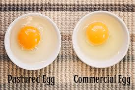 cafo vs pastured egg